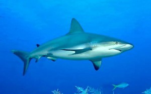 Grey Reef Shark photo: marinebio.org