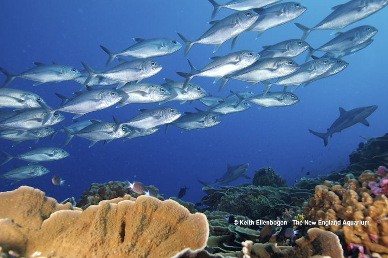 A school of Bigeye Trevally with two Blacktip Reef Sharks in the background swim over a healthy coral reef; The Phoenix Islands Protected Area, Pacific Ocean, Enderbury Island, Kiribati.